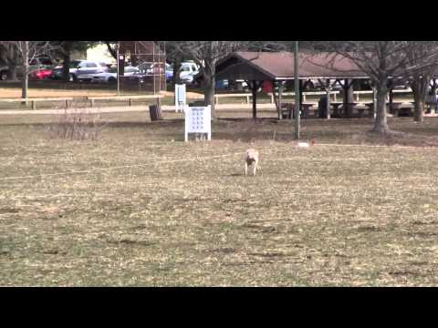 Lure Coursing Jack Russell Terrier