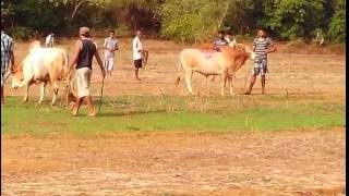 Repeat youtube video Bull Fight