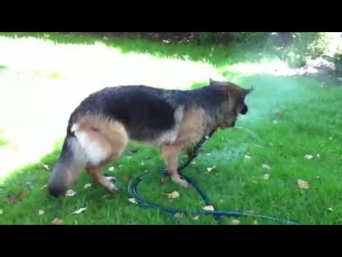 Sheba German Shepherd (Warsaw) dog gets water massage