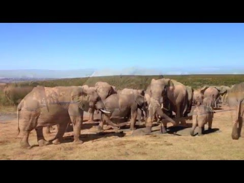 Over 100 Elephants at the Addo Reservation, South Africa