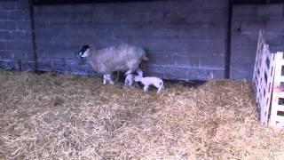 Newly Born Lamb Feeding