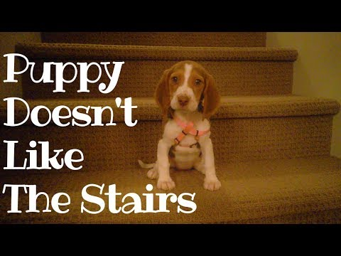 Beagle Puppy Learning Stairs