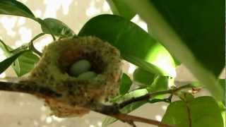 № 40. США. Калифорния. Гнездо колибри. Hummingbird nest