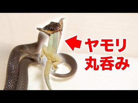 かわいいヘビがヤモリやマウスを丸呑み・・・