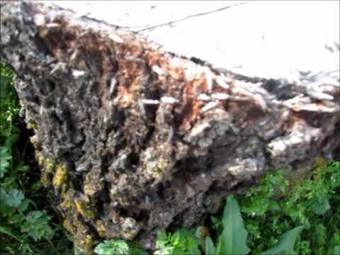 Ant Infested Oak Tree Stump Dear Friend S Armchair