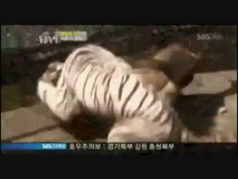Lions Vs Tigers all fights thumbnail