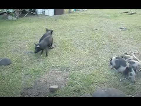 Alamagan Island Pigs as Cargo to Saipan Island