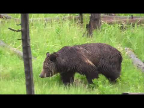 Grizzly seen In Yellowstone National Park