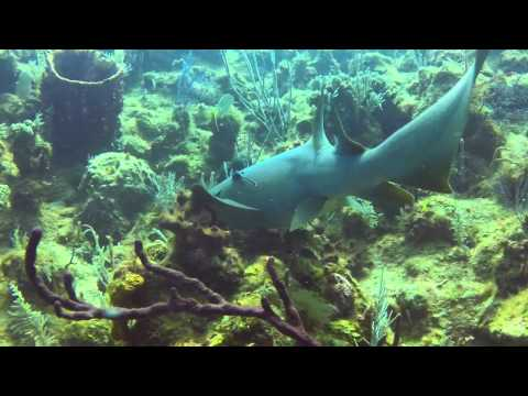 Nurse Sharks Prey On Lionfish