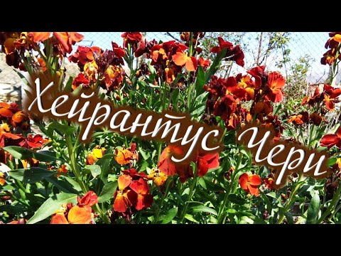 Цветы у соседки за моим домом Хейрантус (Лакфиоль)