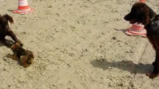Epagneul De Saint Usuge Et Border Terrier