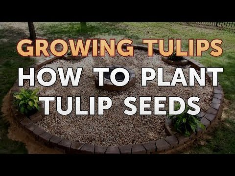 How To Plant Tulip Seeds Youtube