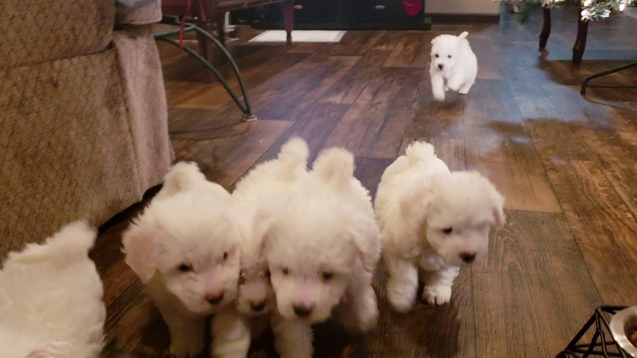 Maggie's Puppies 6 wks old