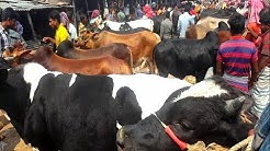 702  Best cows in the market Rajshahi City Hat Big Big Indian and