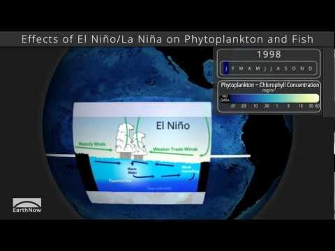 Effects Of El Niño/La Niña On Phytoplankton And Fish