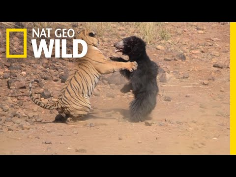 Mother Bear Fights Tiger to Save Her Cub in Dramatic Video | Nat Geo Wild