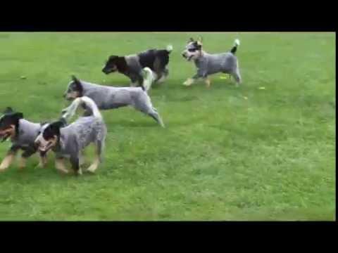 Blue Heeler Australian Cattle Dog Puppies For Sale