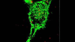 Watching virus-like particles in a cell