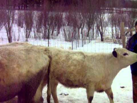 Halter Train a Heifer Withou..