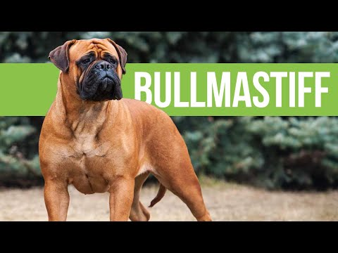 All About Bullmastiffs - Powerful Bulldog x Mastiff Crossbreed
