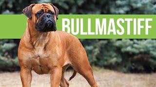 All About Bullmastiffs  Powerful Bulldog x Mastiff Crossbreed