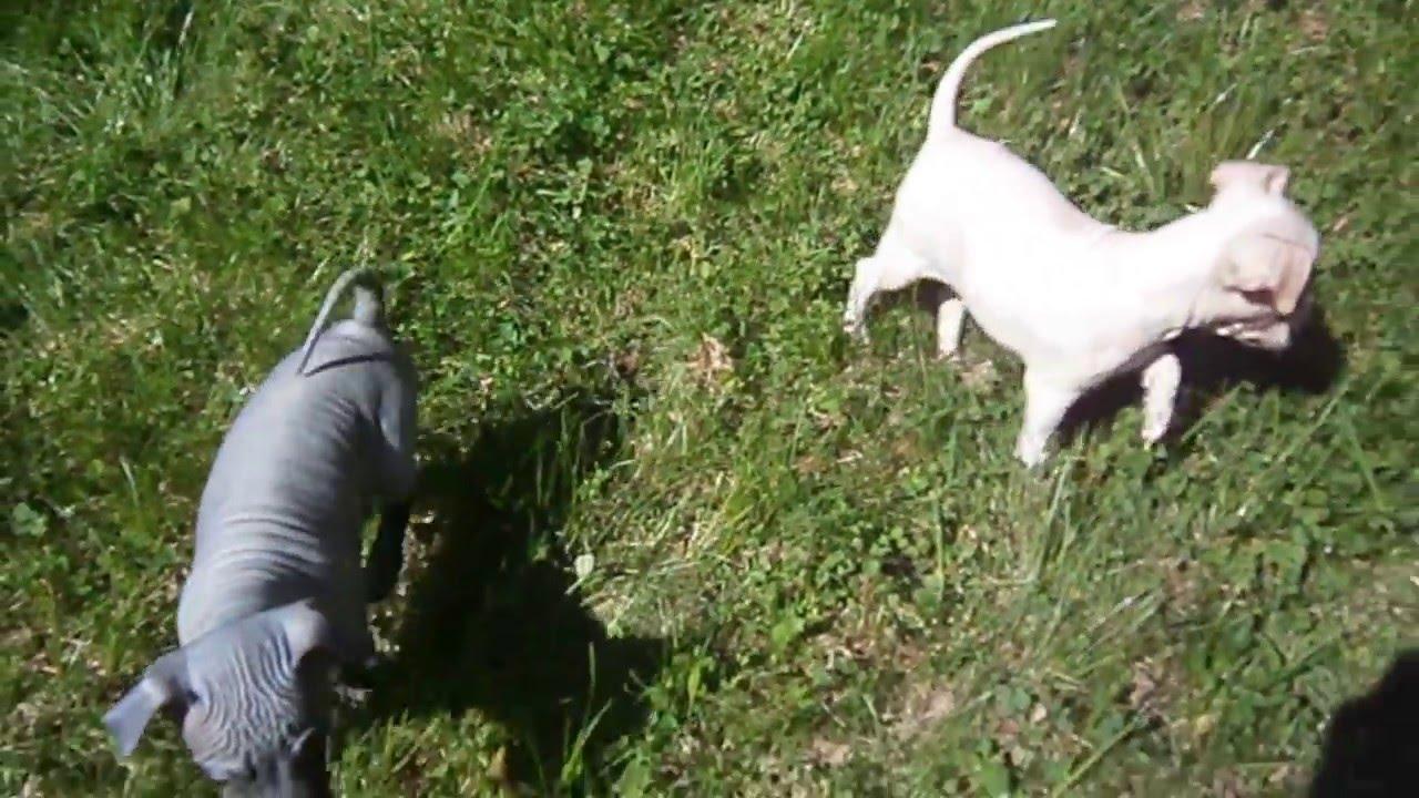 Щенки американского голого терьера 1,5 месяца играют на природе