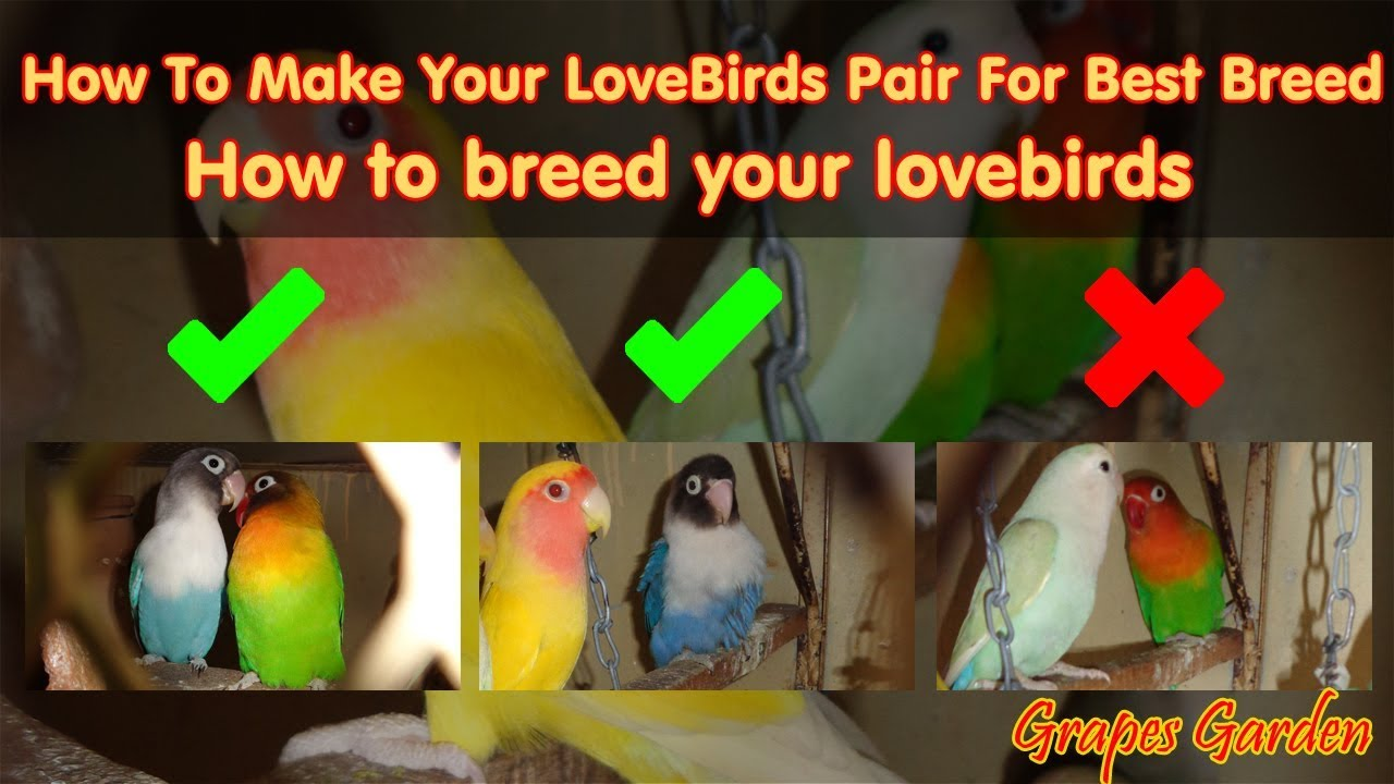 How to Breed Lovebirds recommendations