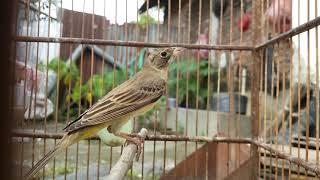 Download Mp3 Burung Kenari Hutan,dapat Dari Jaring Di Sawah