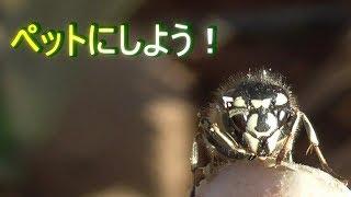 【スズメバチ】クロスズメバチをペットにしよう、、、【Oh my god !!】