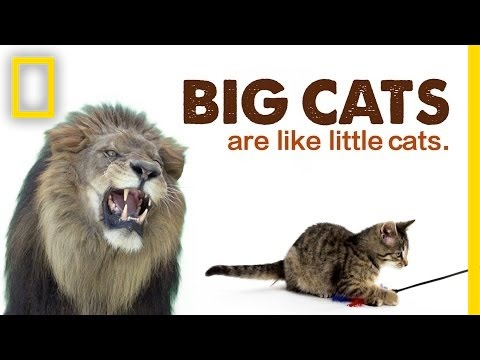 Big Cats Are Like Little Cats | National Geographic