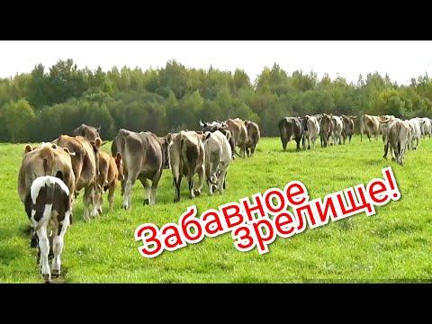 Дрессированные коровы