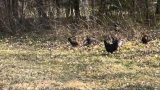Moje kury na spacerze.