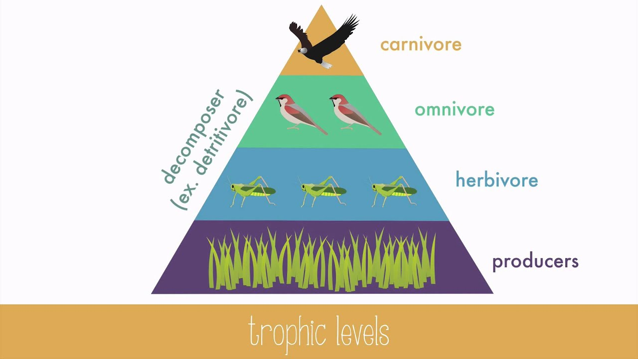 Energy Transfer in Trophic Levels - YouTube
