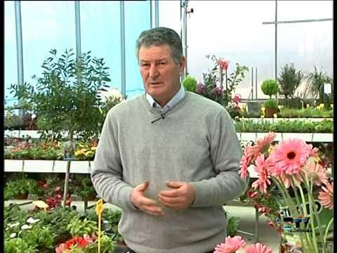 El Jardinero En Casa Gerbera Youtube
