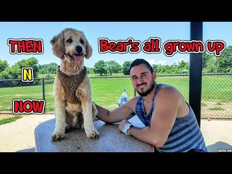 BEAR THE GOLDENDOODLE'S FIRST YEAR!!