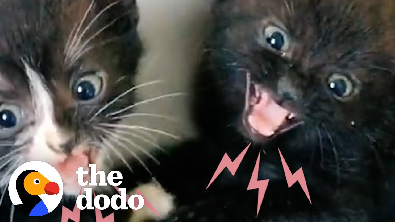 Hissing Kittens Are So Scared But With Time And Love Something Amazing Happens | The Dodo Cat Crazy