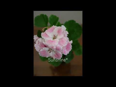 Regal Pelargonium Joan Morf  리갈 조안모프