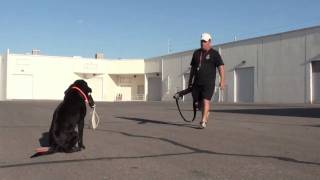 Labrador Retriever Gun Dog Training