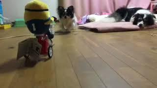 ミニオンズの三輪車ギミック走らせてみました。 見守る犬たち。