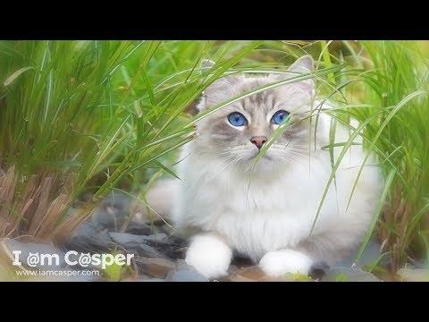 Relaxing Cat Video 5 - Ragdoll Casper in the Garden