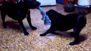 Pelea Staffordshire Bull Terrier Vs. Pug Carlino
