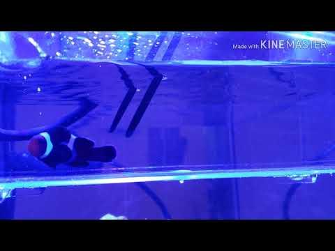 Freshwater Dip Black Clownfish
