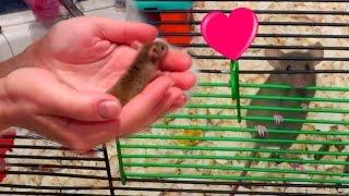 Наши Мыши | Отсаживаем самок | Новая мышка ^_^