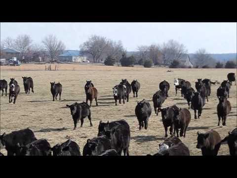 Ogden Cattle Co. Hangin Tree Cowdogs 'Fetching Weaned Heifers'