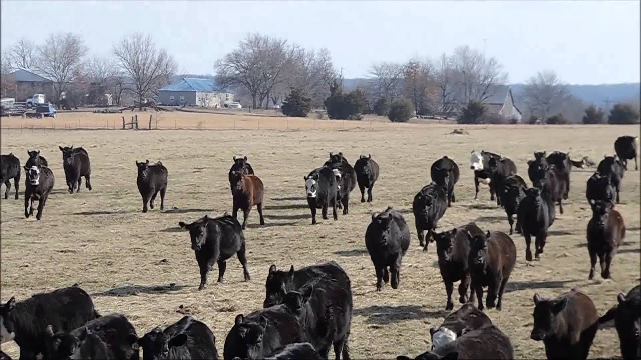 Hanging tree cow dogs for sale - Ogden Cattle Co Hangin Tree Cowdogs Fetching Weaned Heifers