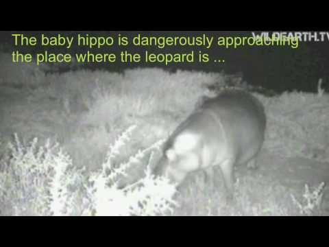 The baby hippo again attacked by a leopard