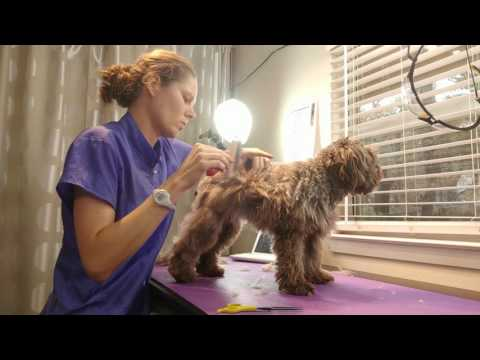 Brushing Removing Tangles Schnoodle Ginger