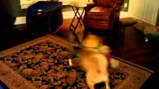 German Shepherd/husky Mix Vs Malamute