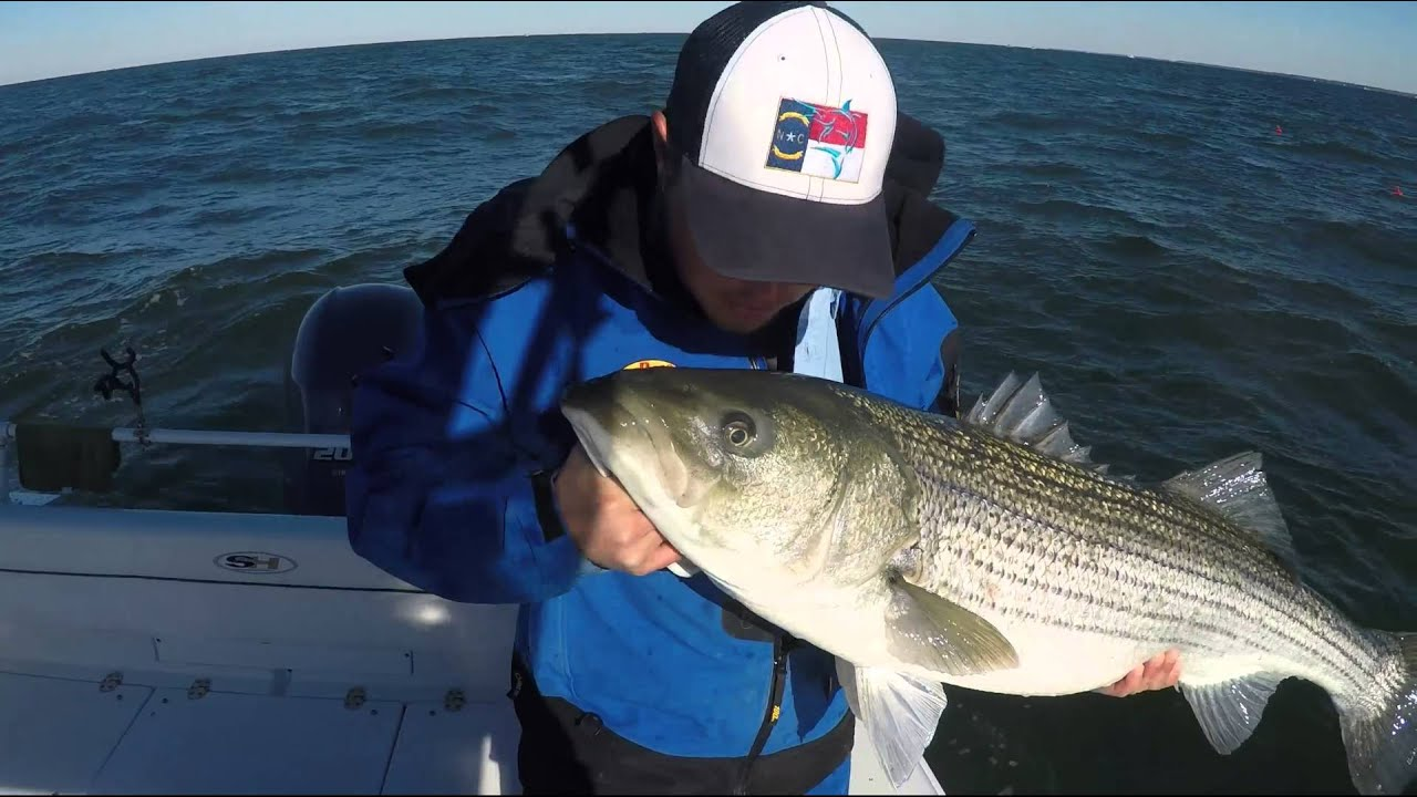 Monster striped bass in the chesapeake bay 12 20 15 youtube for Striper fishing chesapeake bay