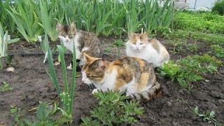 Животные. Мои кошки жадно едят свежую рыбу. Рыба - любимая еда всех кошек!